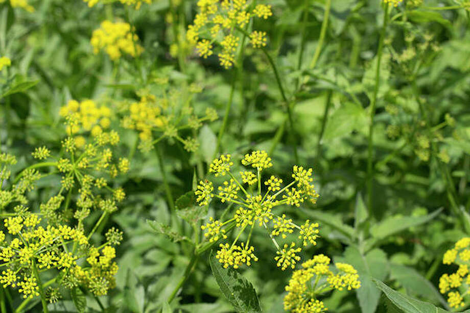 Wild parsnip: The leaves of this plant are toxic and can cause a painful rash. Photo: Getty Images