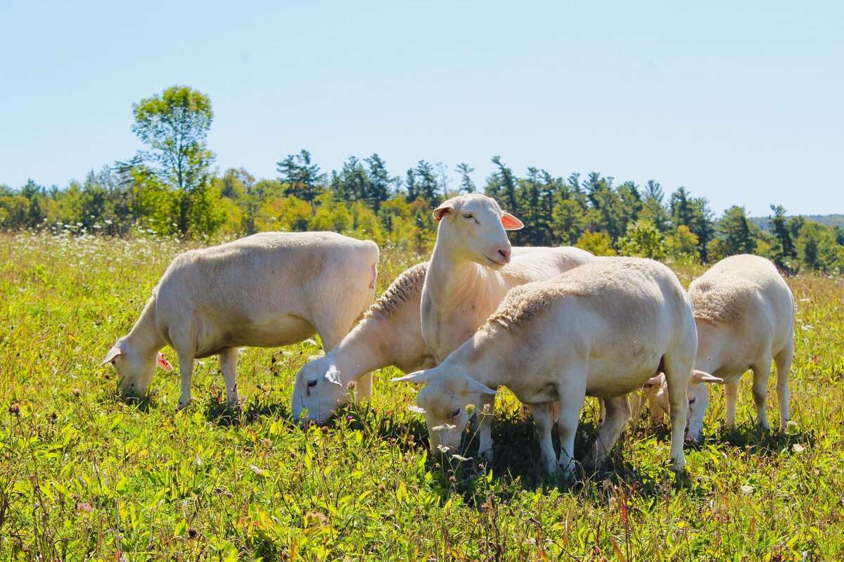 White dorper sheep at Two Rock Ranch in Berne. (Courtesy of Emily Vincent)