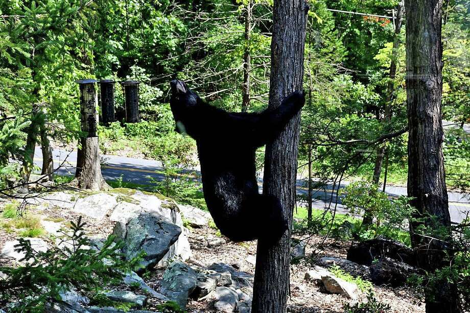 Black bear seen on Carmen Hill Road in Brookfield, Conn., on Aug. 29, 2018. Photo: Contributed Photo / Tina Heidrich / Contributed Photo / Connecticut Post Contributed