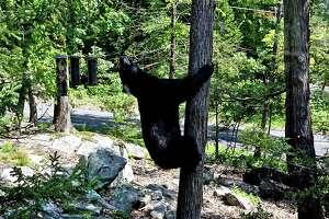 Black bear seen on Carmen Hill Road in Brookfield, Conn., on Aug. 29, 2018.