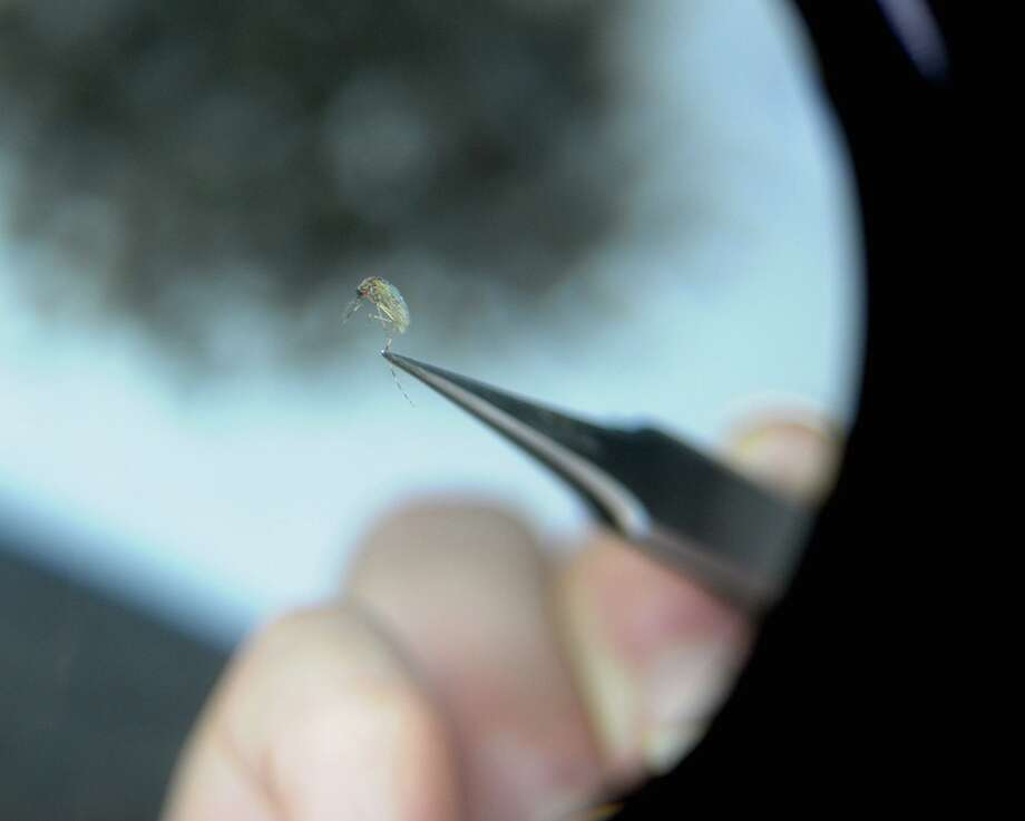 An individual looks at a mosquito through a magnifying glass as she works on separating deceased mosquitoes by species in this archive picture. Photo: Paul Buckowski / Albany Times Union / ONLINE_YES