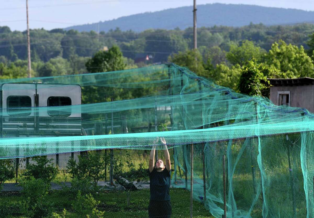 Kelsey Neff strings netting to protect the Mead Family Farm blueberry crop from hungry birds on Monday, June 29, 2020, on Meads Lane in Bethlehem, N.Y. (Will Waldron/Times Union)