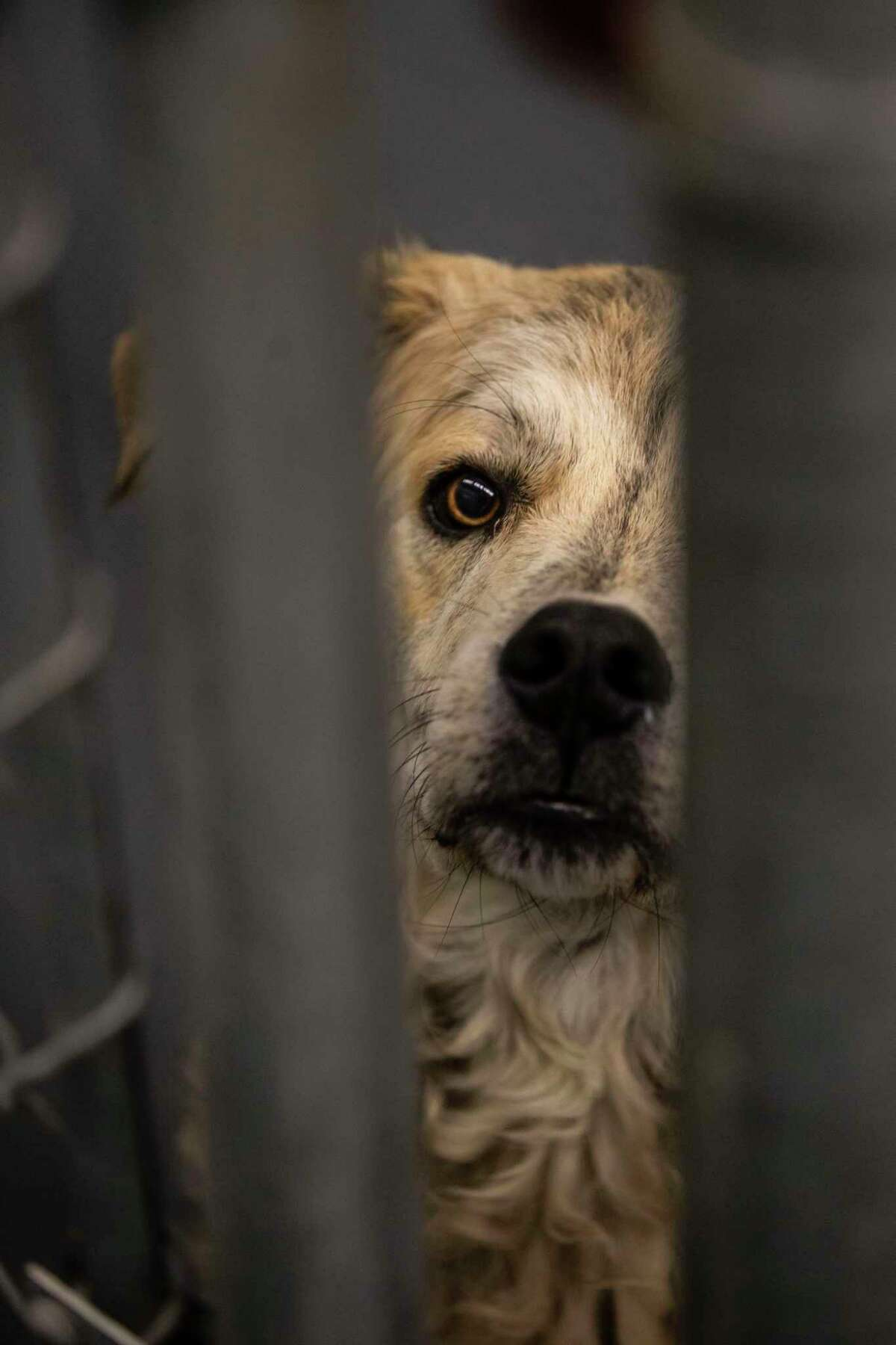 A dog awaiting adoption peers out of its kennel at Animal Care Services last week. Agency pet trainers and behavior specialists and rescue/foster groups dedicate many hours behind the scenes so pets can find homes at weekly adoption, foster events and social media sites.