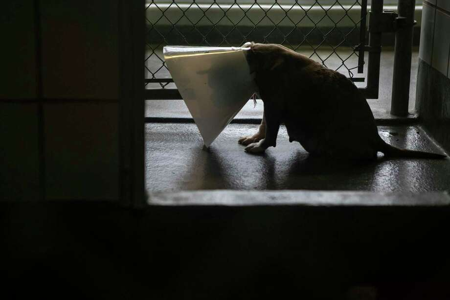 A dog wearing a cone sits in its kennel awaiting adoption at Animal Care Services last week. Photo: Josie Norris /Staff Photographer / **MANDATORY CREDIT FOR PHOTOG AND SAN ANTONIO EXPRESS-NEWS/NO SALES/MAGS OUT/TV