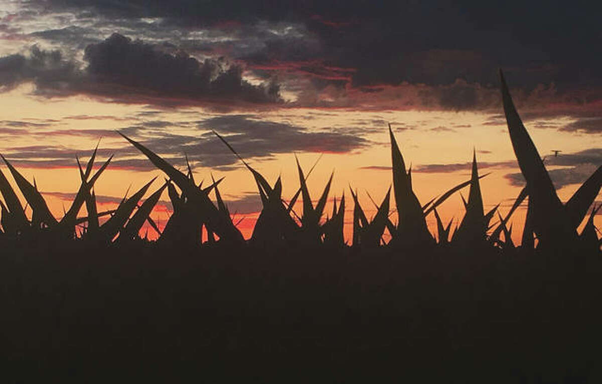 The sun sets behind stalks of growing corn.