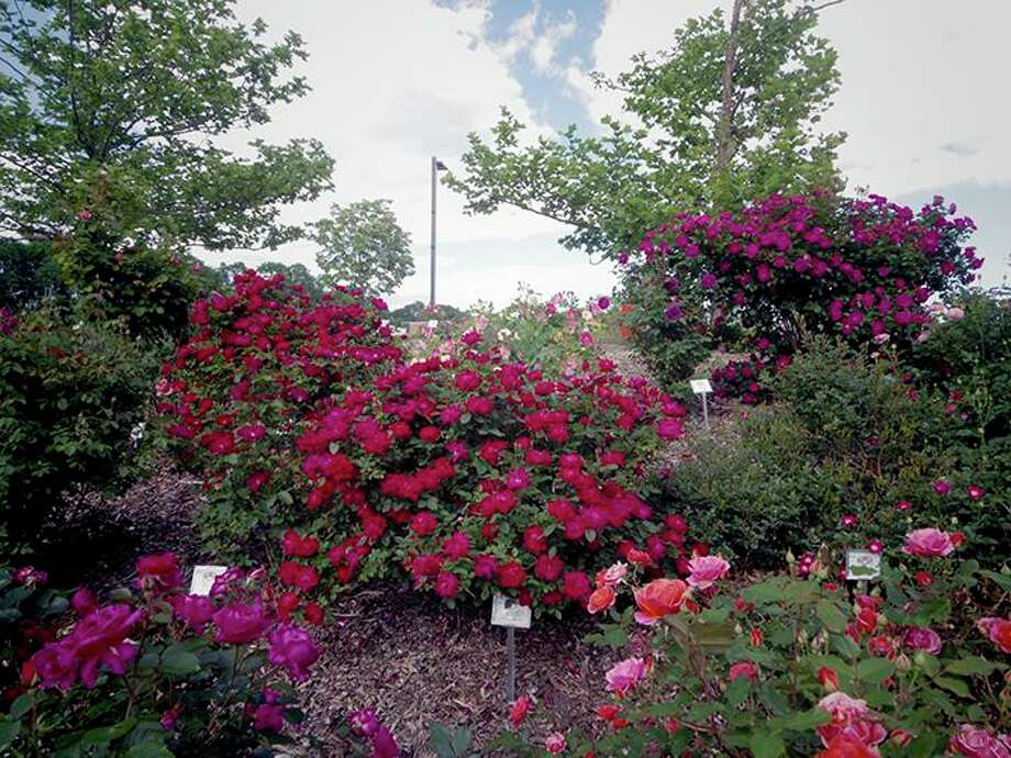 Naugatuck Valley Community College is a summer testing site for a variety of roses. Photo: Contributed Photo