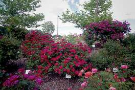 Naugatuck Valley Community College is a summer testing site for a variety of roses.