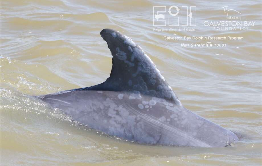 Of the dolphins that were still observed in the bay, 96 percent were found with freshwater skin lesions. Courtesy: Galveston Bay Dolphin Research Program Photo: Galveston Bay Research Program