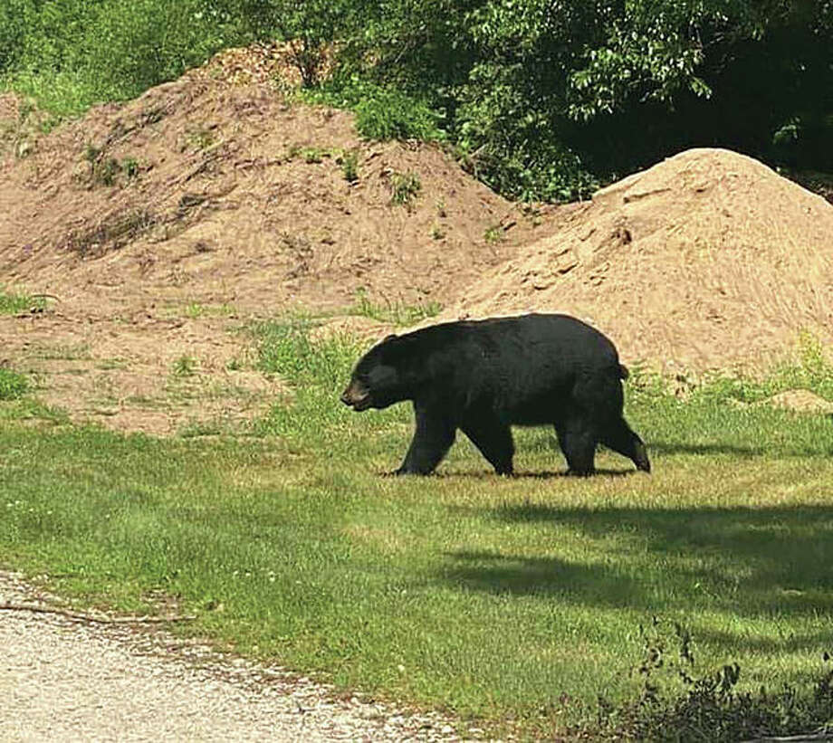 An American black bear is making its way south through Illinois. The bear, which has not caused any problems, last was seen north of Illinois 27 near Barry about 90 miles north of Alton. Hundreds of people are turning out to see the bear, but the Illinois Department of Natural Resources is asking onlookers to keep their distance and not to hinder the bear. Photo: Capt. Laura Petreikis | Illinois Conservation Police