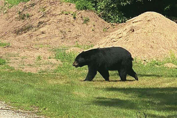 An American black bear is making its way south through Illinois. The bear, which has not caused any problems, last was seen north of Illinois 27 near Barry about 90 miles north of Alton. Hundreds of people are turning out to see the bear, but the Illinois Department of Natural Resources is asking onlookers to keep their distance and not to hinder the bear.