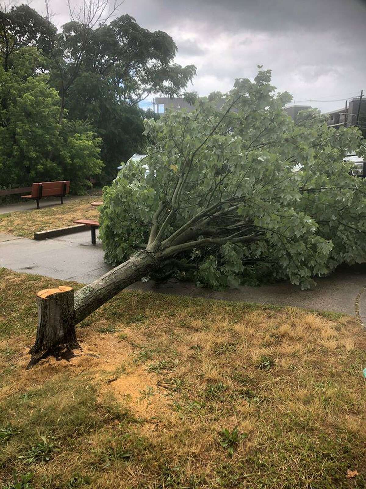 """City officials said a """"perfectly healthy"""" maple tree was found Tuesday, June 30, 2020, in Mill Pond Park in Norwalk, Conn., after it had been cut down, unauthorized."""