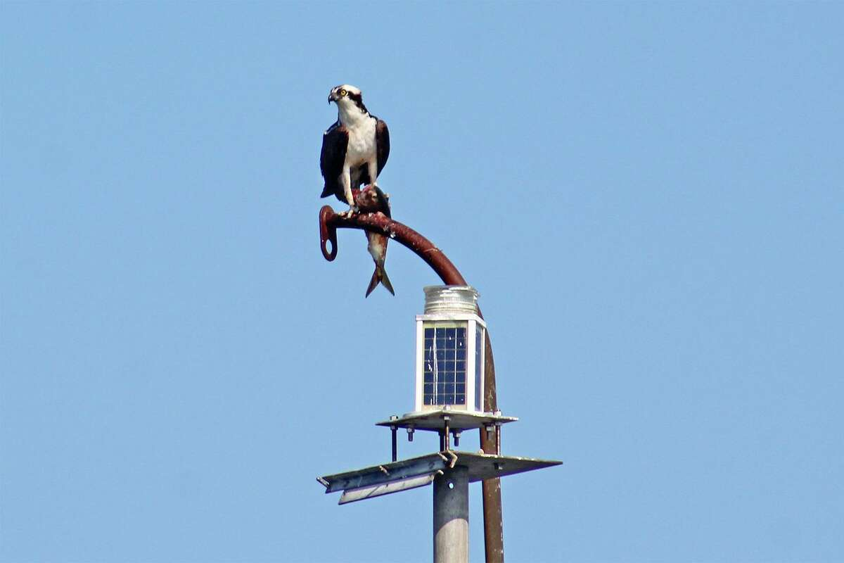 An osprey, perched here with a fish, is among the birds you may see on the cruises by Maritime Aquarium at Norwalk.