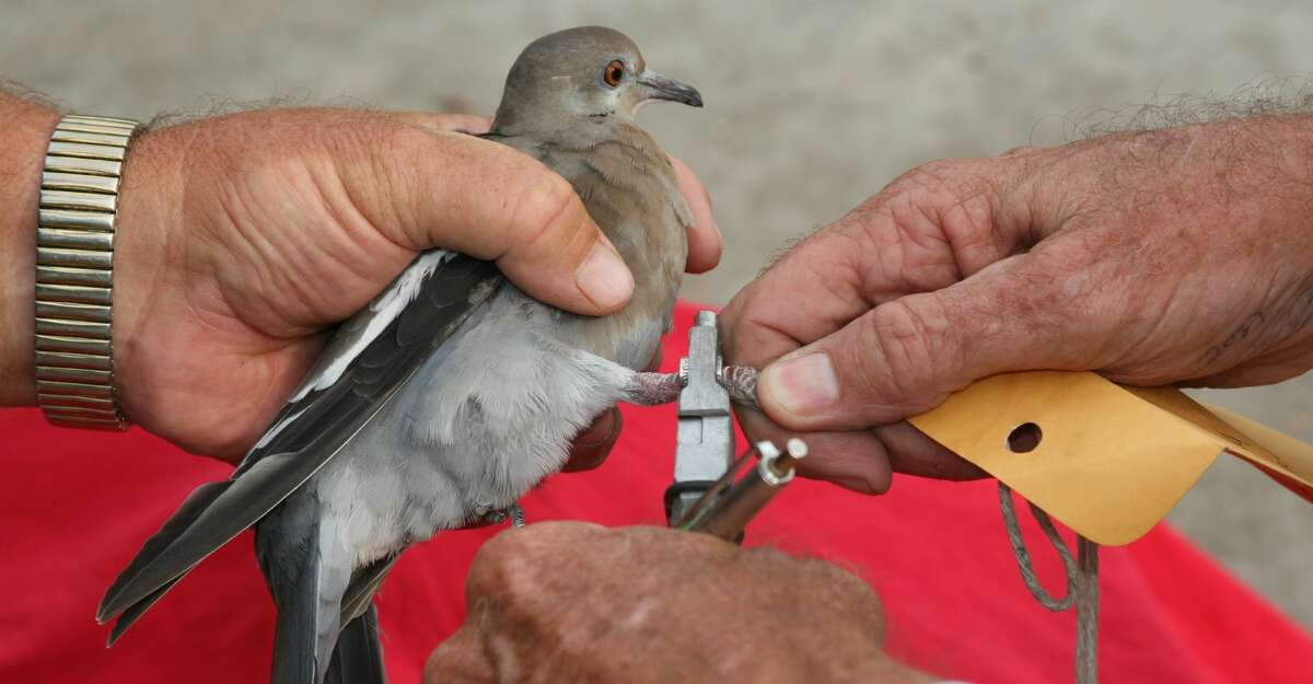 Texas Parks and Wildlife Department works to band native dove species every summer.