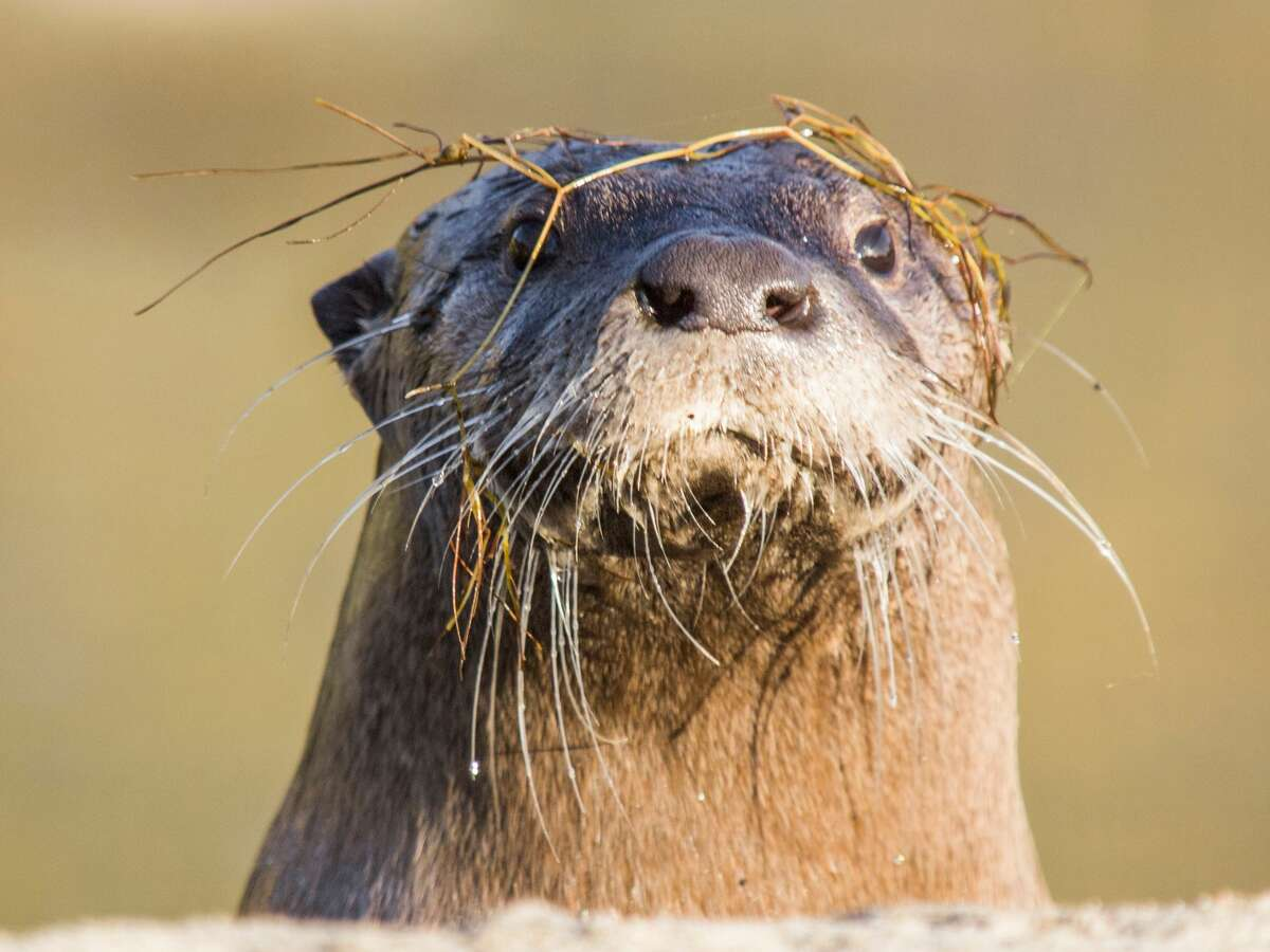The North American River Otter