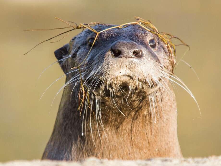 The North American River Otter Photo: Cultura RF/Jouko Van Der Kruijss/Getty Images/Cultura RF