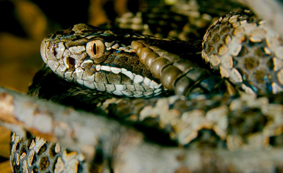 The Eastern Massasauga, Michigan's only venomous snake thrives in wetland areas. Photo: Josh More/Creative Commons