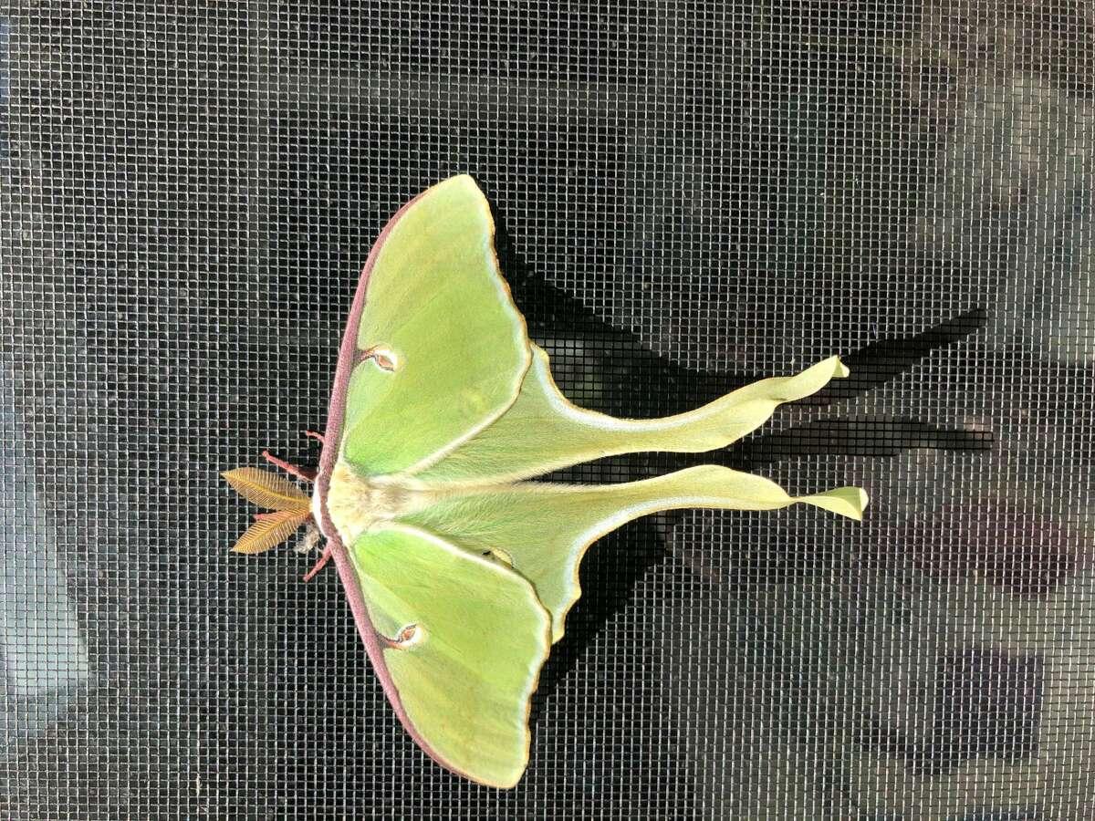 Luna moth (Patricia Brackins)