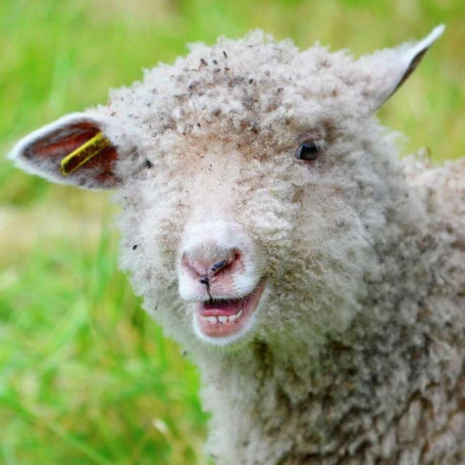 Sunday, July 5: Step back in time at Chippewa Nature Center's Homestead Farm for a family-friendly afternoon from 1 to 5 p.m.The sheep are bah-ck and you may also encounter chickens, pigs and cows atthe 1800s homestead and farm. (Photo provided/Chippewa Nature Center)