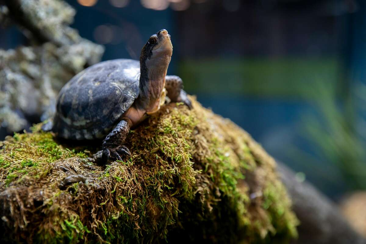 The western pond turtle at the Aquarium of the Bay on Tuesday, June 30, 2020, in San Francisco, Calif. Aquariums and zoos in San Francisco remain closed because of the state of the coronavirus pandemic.