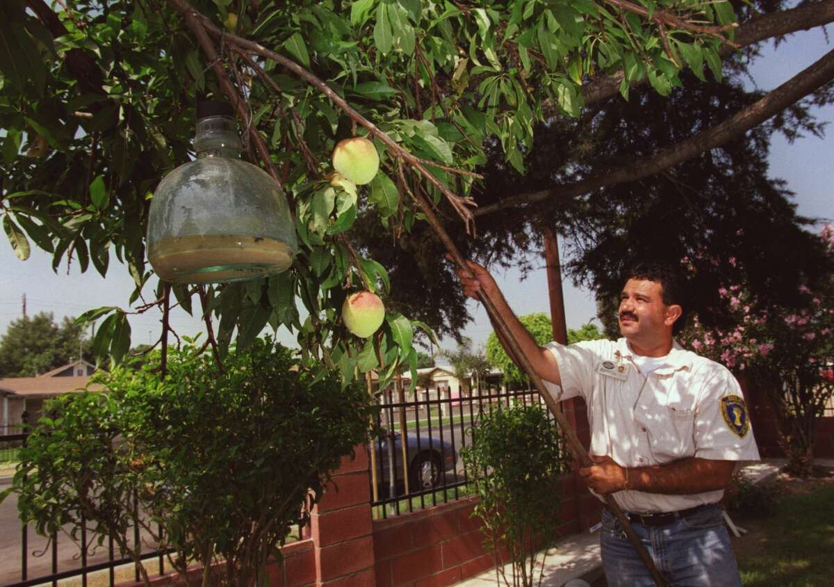 Elias Moreno, Agricultural Aide Inspector for the state of California, places new fruit fly trap in this peach tree on South Golden West, Santa Ana.