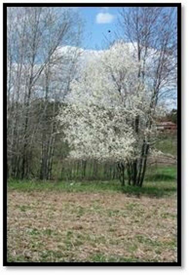 Amelanchier is a plant that has several names such as serviceberry, shadblow and juneberry based on its timing of bloom and fruit ripening. (Photo provided/Chuck Martin)