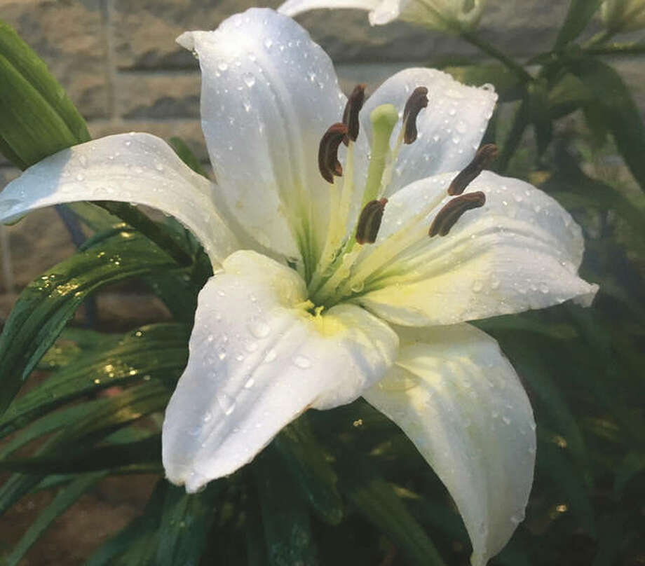 Raindrops collect on a lily. Photo: Joy Harris