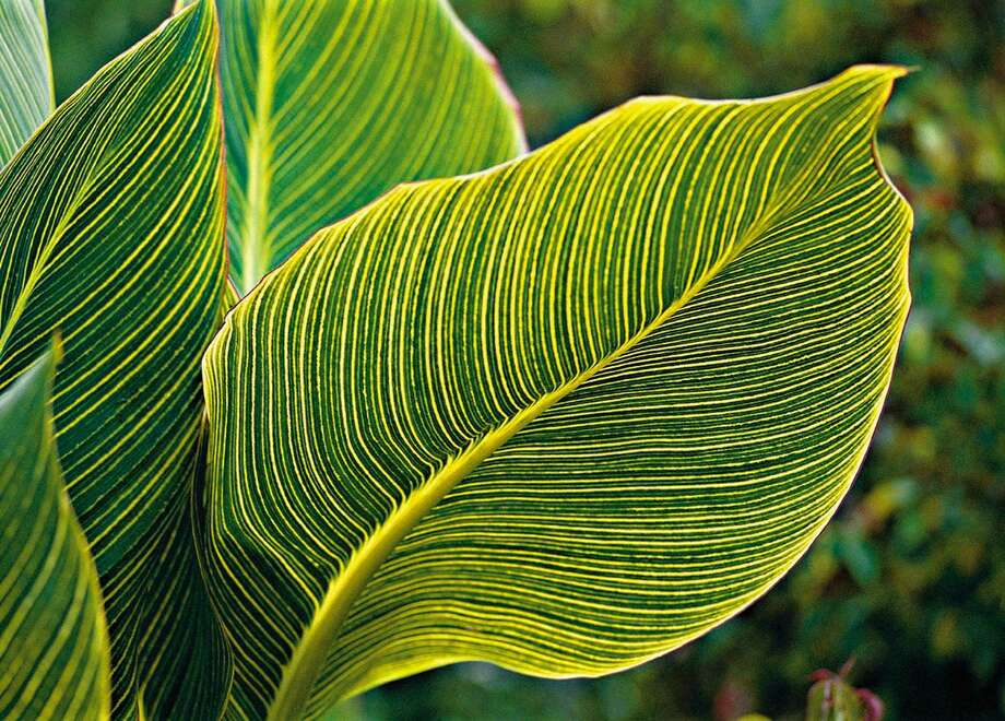 "The striped leaves of ""Bengal Tiger"" are as striking as the flowers. (mvw) 2003 MANDATORY CREDIT: SOUTHERN LIVING Photo: Southern Living / Southern Living/KRT / SOUTHERN LIVING"