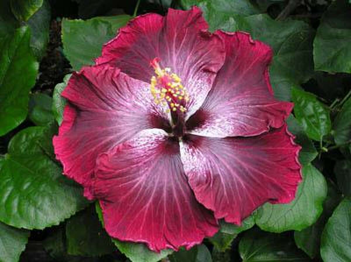 Roz Merritt photo. ``Black Dragon,'' perhaps the blackest hibiscus yet, is one of a new hibiscus series, Cajun Loveables, developed by a Louisiana hybridizer. The new series will be featured during the Lone Star Chapter of the American Hibiscus Society's June 12 show and sale in Bellaire. HOUCHRON CAPTION (06/11/2005) SECSTAR COLOR: NEW SERIES: The ``Black Dragon,'' perhaps the blackest hibiscus yet, is part of the Cajun Loveables series developed by a Louisiana hybridizer. The new series will be featured during the Lone Star chapter of the American Hibiscus Society's show and sale Sunday in Bellaire. GARDEN CALENDAR.