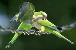 Monk parakeets such as these seen in Connecticut in 2005, have spread throughout the nation, including in Texas. The birds built a huge nest on one the water tower legs at the corner of Durant and Coy streets in Deer Park. Another nest is Pasadena ISD's Maguire Field.