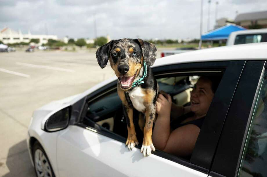 A dog hangs outside a car window as they wait their turn to vaccinations at Woodforest Bank Stadium. Photo: Gustavo Huerta, Houston Chronicle / Staff Photographer / Houston Chronicle © 2020