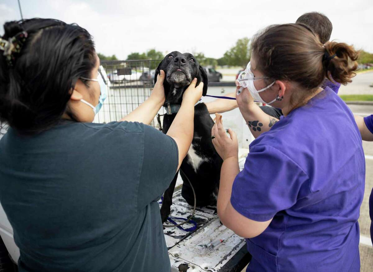 Emma Friedrich (right), veterinarian technician and the dog owner prepare a pet for vaccines at Woodforest Bank Stadium in Shenandoah, Thursday, June 2, 2020. The Montgomery County Animal Services distributed 1,800 vaccines during the event, double the amount they distributed compared to their first event.