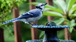 Refill birdbaths with fresh water every day or two to prevent algae growth.