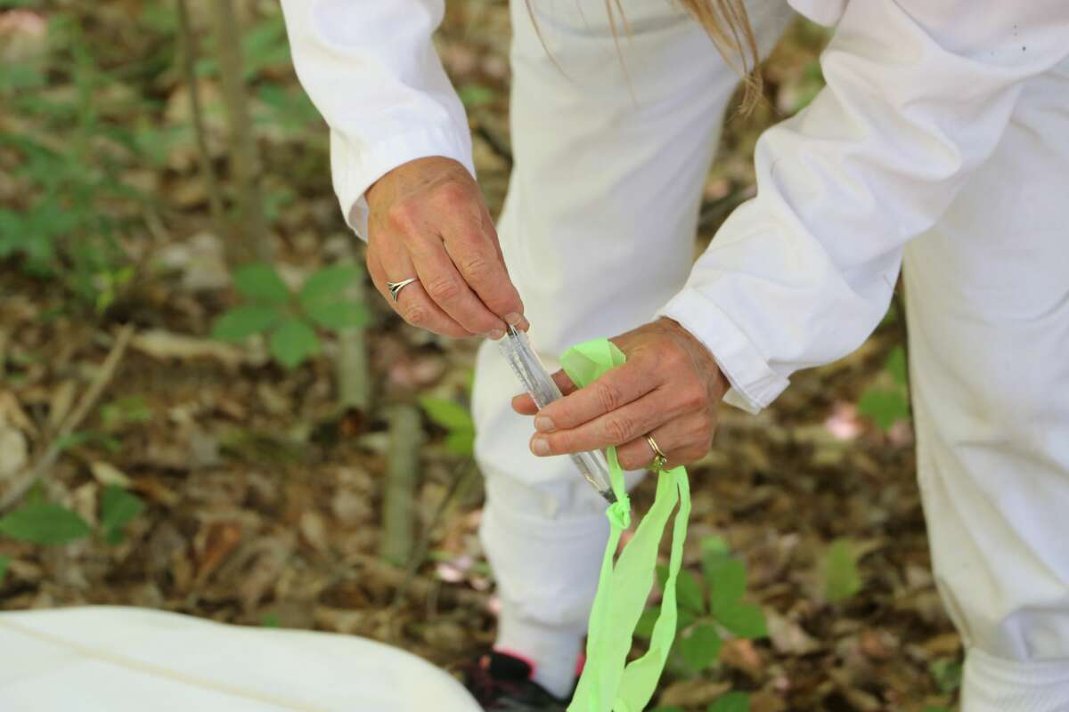 Lee Ann Sporn, a professor at Paul Smith's College, uses a drop cloth to collect ticks on Friday, June 19 in Essex County.