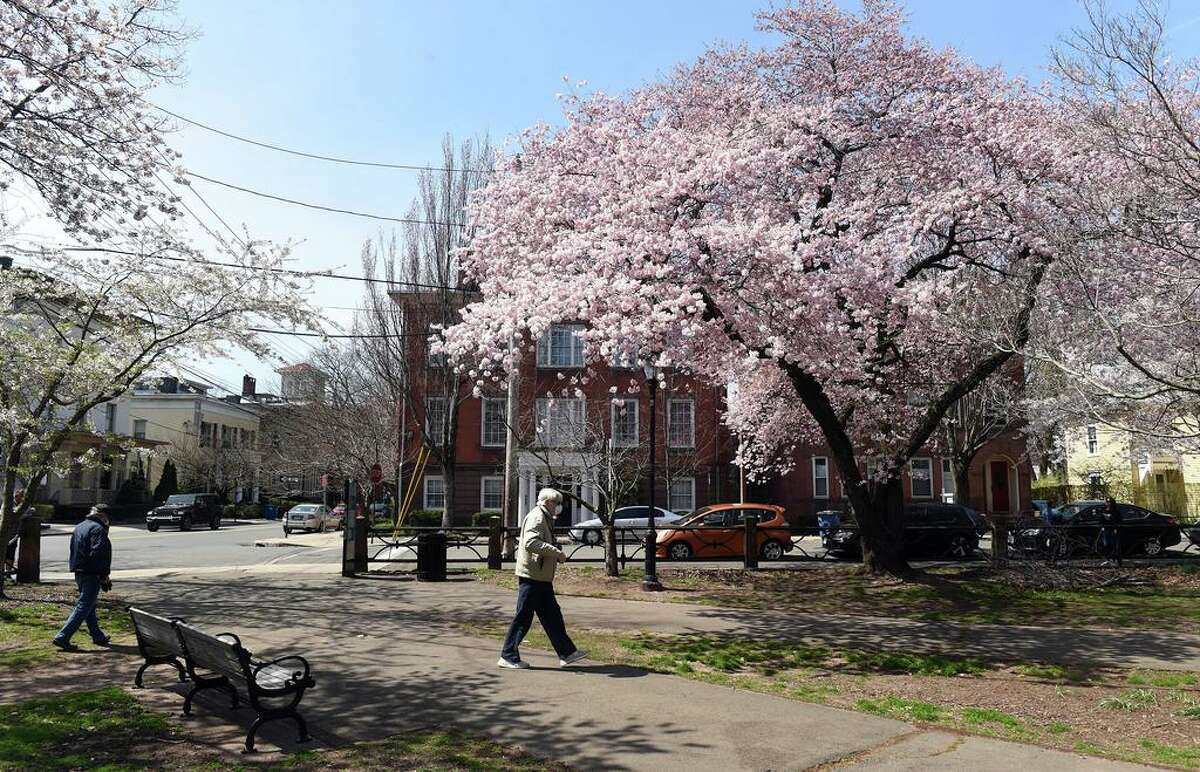 Blooming cherry blossoms in Wooster Square in New Haven on April 7, 2020.