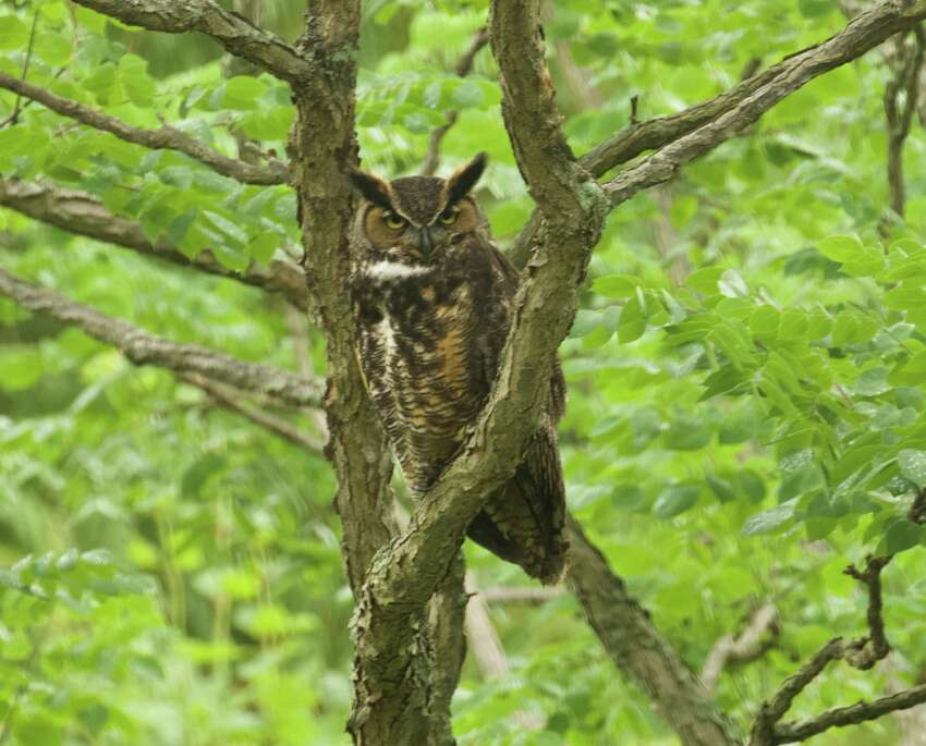Bill Brooks of New Scotalnd spotted a great horned owl.