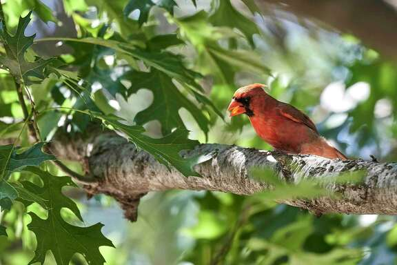 Northern cardinal cawing on branch