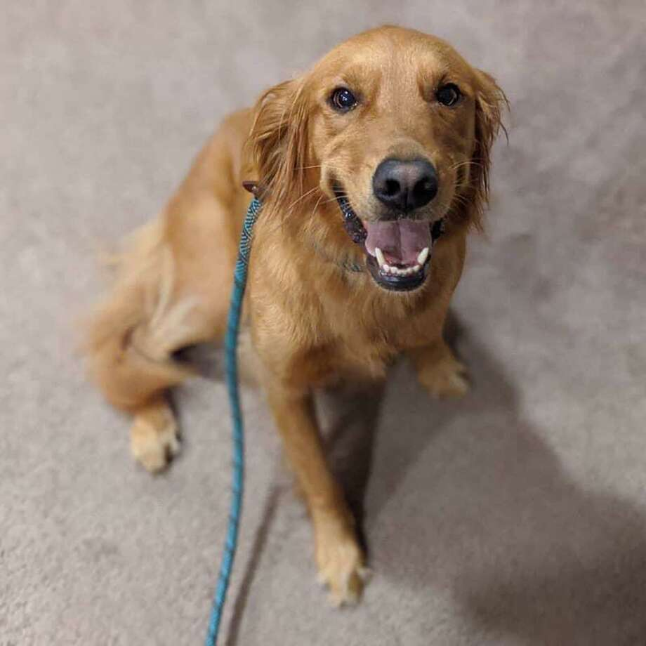 Lucy, a Golden Retriever police said is missing after her handler was bitten by a bear Sunday on a trail in Simsbury. Photo: Contributed / Simsbury Police Department