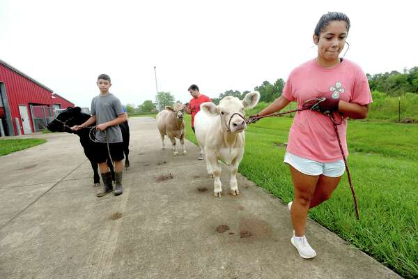 Javi and Kelly Velazquez and Garrett Gerace walk their steers outside the BISD Agriculture barn Friday morning after feeding and mucking their stalls. It is part of their twice daily chores tending to their animals as they prepare for next year's FFA shows. It not only provides regular exercise, but gives students a chance to practice walking with their animals and teaching them to take directions. Photo taken Friday, June 26, 2020 Kim Brent/The Enterprise