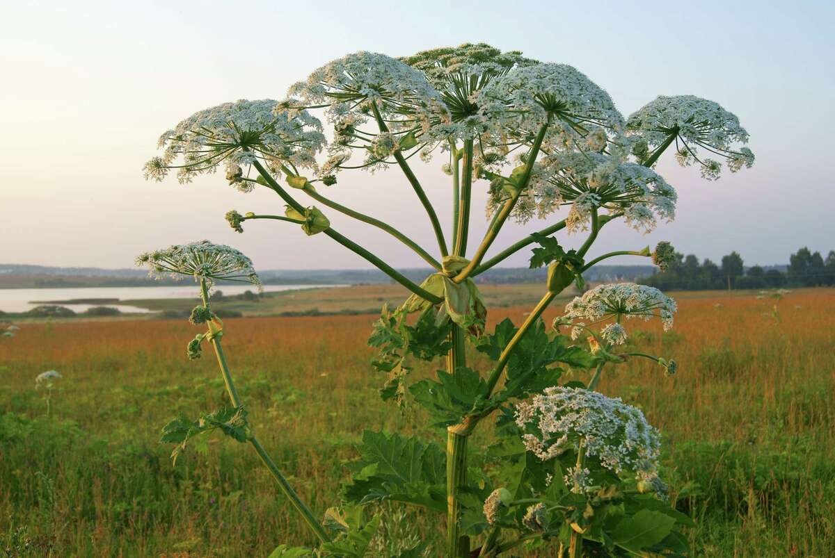 Do not touch this plant: Giant hogweed can cause severe burns or blindness
