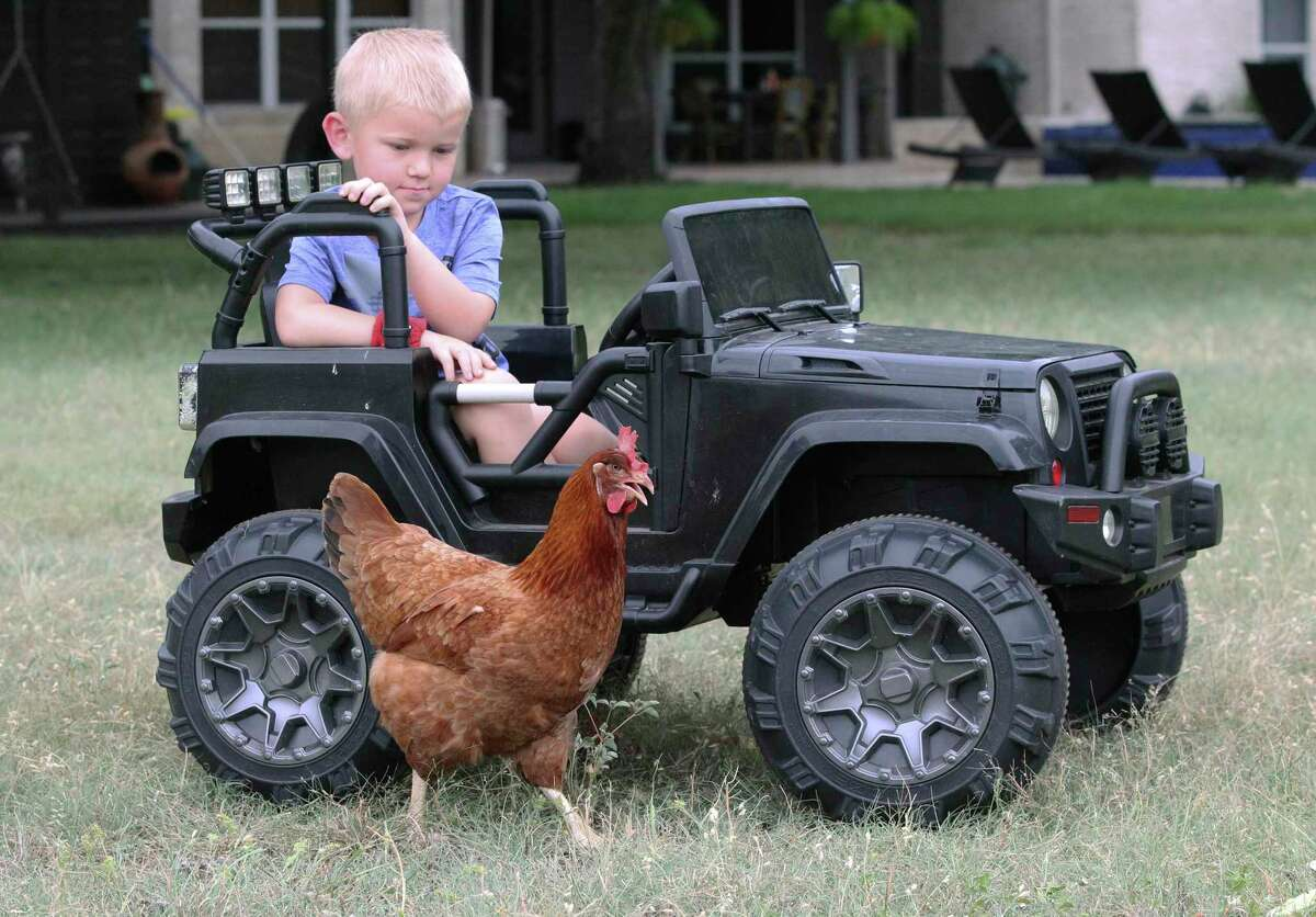 Four-year-old Jake watches Reba, the Rhode Island Red hen, who's back at home after an adventure that took her to Costco and then Del Rio and back.