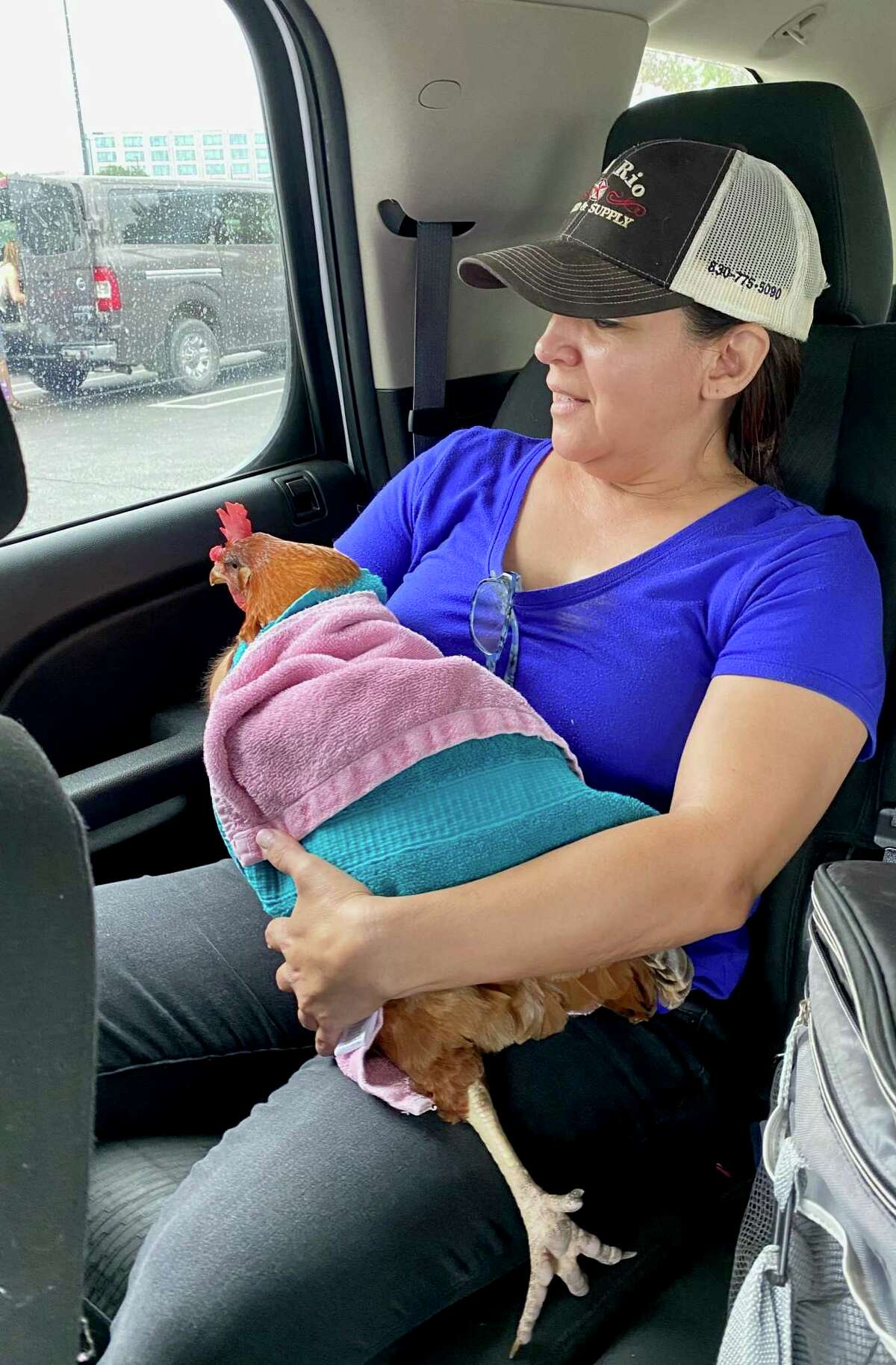 Zobeida Perry holds Reba the Rhode Island Red after she and her sister found the chicken wandering a Costco parking lot.