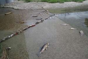 A release of ammonia gas at a meatpacking plant on the city's West Side led to the deaths of more than 5,000 fish in the San Pedro Creek and the San Antonio River's Mission Reach, according to offcials from the San Antonio River Authority.