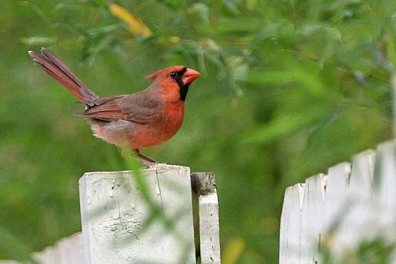 A male cardinal stands on a fence near a backyard feeder in San Antonio. Cardinals are indigenous to North America.