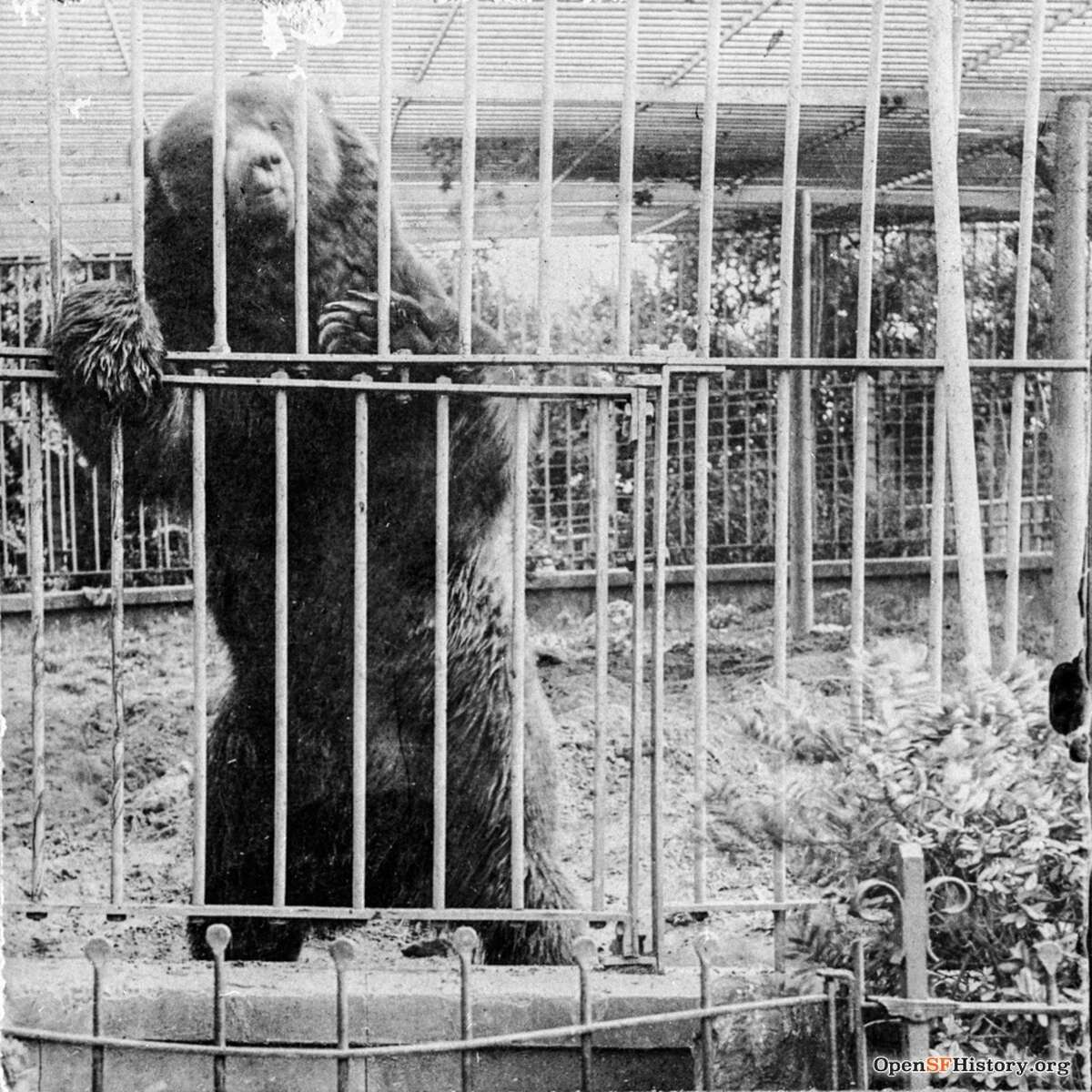 Monarch the bear in captivity in Golden Gate Park, circa 1900.