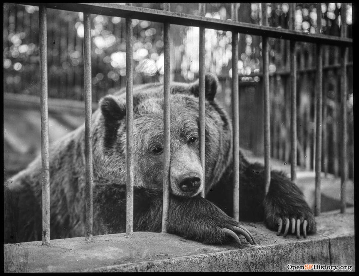Monarch the bear in captivity in Golden Gate Park, circa 1910.