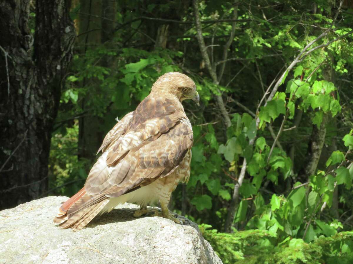 On a recent hike in New Hampshire's White Mountains, Cliff Prewencki of Delmar and his girlfriend came upon a red-tailed hawk sunning himself on a boulder on the trail.