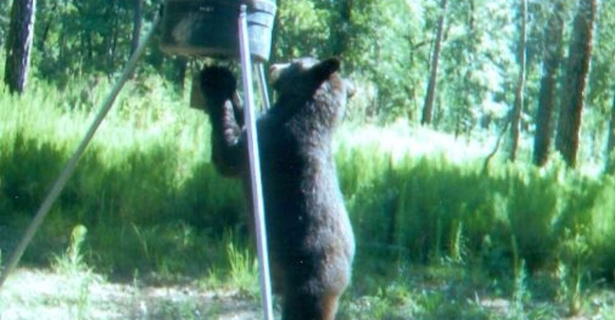 Black bear activity has increased in Northeast Texas this year.