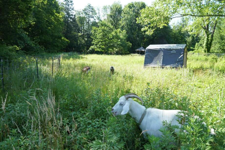 Ms. Bo Peep is in the forefront with the new goat tent in the background in Irwin Park in New Canaan. Ms. Bo Peep, and two other goats in the park have been given the new tent after their previous one was damaged in a storm in 2019. The town is utilizing the goats to rid the park of the invasive species, knotweed. Photo: Grace Duffield / Hearst Connecticut Media