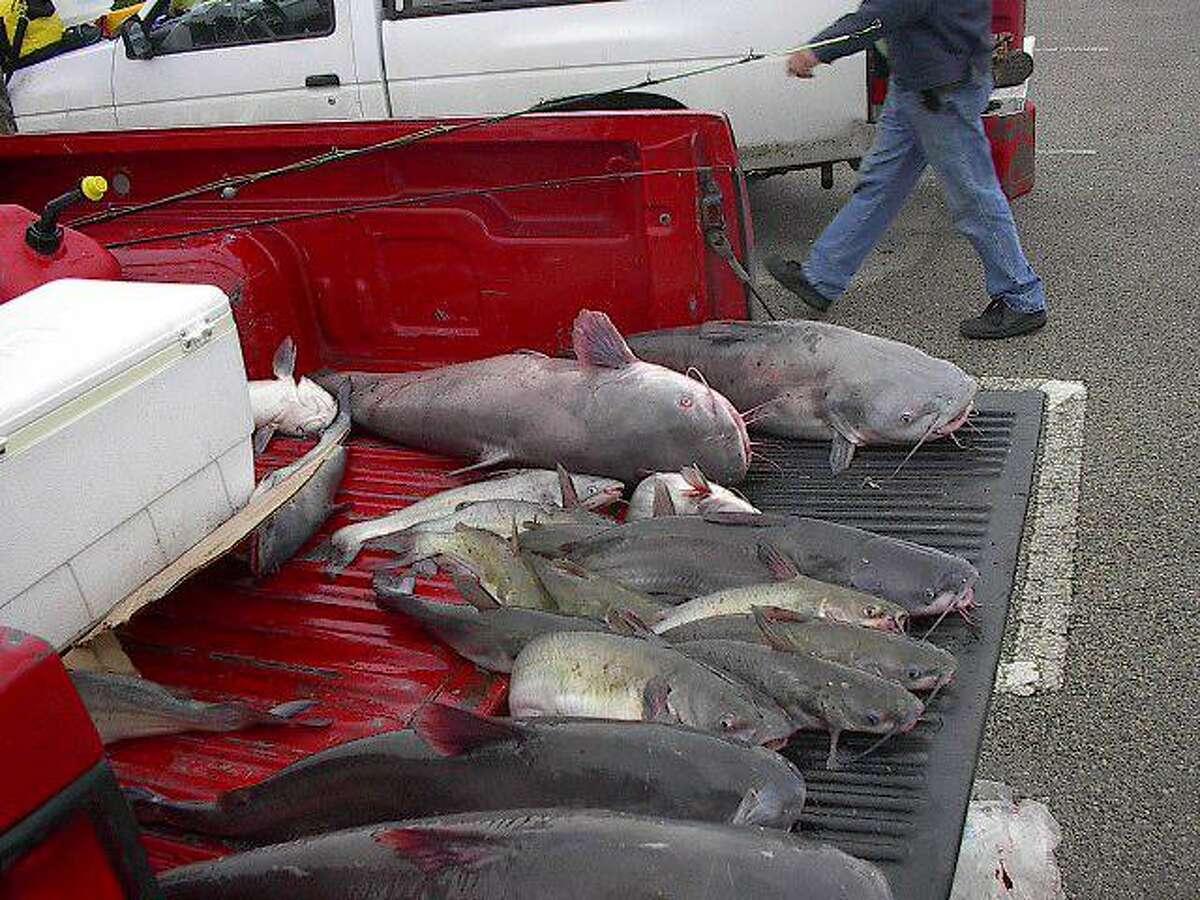 Catfish are plentiful on Lake Conroe, fun to catch and make excellent table fare.