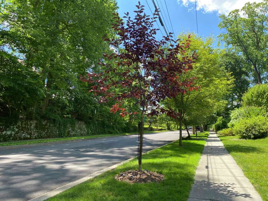 Urban foresters are turning to new varieties to diversify the mix of street trees. Washington, D.C., has used small- and medium-size trees for planting under power lines. One example is the Canada Red chokecherry on Garfield Street NW. Photo: Washington Post Photo By Adrian Higgins / The Washington Post